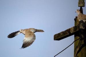 Turkse duif, streptopelia decaocto foto