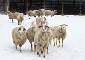 schapen op sneeuw foto