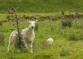 pas geschoren schapen foto