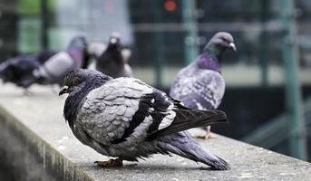 duiven in de stad foto
