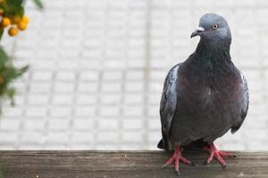 het opmerken van duifbessen van een haag - paloma observando bayas foto