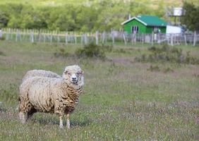 merino schapen foto