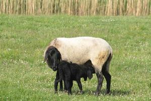 schapen lam foto