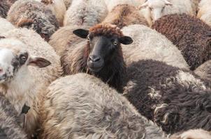 schattige schapen in de kudde foto