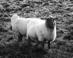 twee schapen foto