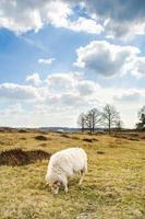 wolken en schapen bij zandduinen in drenthe, appelscha foto