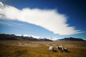 IJslandse schapen in de weide foto
