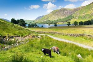 herdwick schapen buttermere lake district cumbria engeland uk blauwe hemel