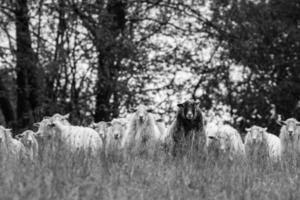 de schapen foto