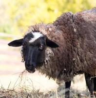 grappige schapen foto