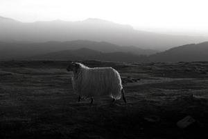 alleen schapen foto