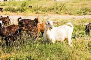 schapen in een weiland foto
