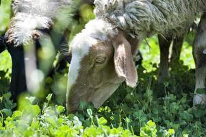 schapen in de wei foto