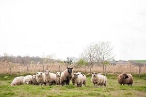 schapen met een leider foto