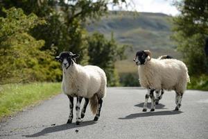 schapen die de weg oversteken foto