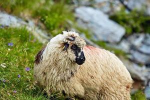 hooglanden schapen close-up foto