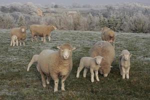 grazende schapen en lammeren foto