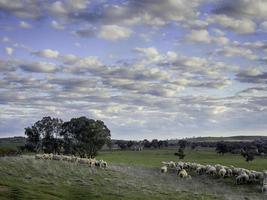 het verzamelen van schapen, cowra, nieuw zuid-wales foto