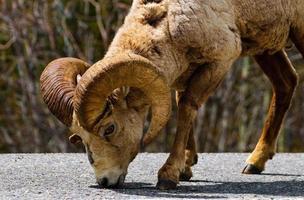 rotsachtige berg groothoornige schapen foto