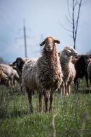 ram die tegen een kudde schapen staat foto