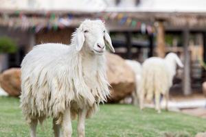 lange wollen schapen staan stil foto