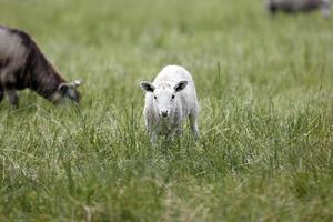 schapen op een weide foto