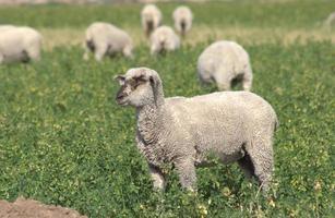 schapen grazen in een weiland foto
