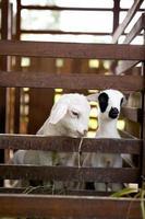 baby schapen eten foto