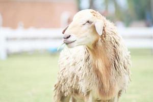 schapen bij ratchaburilandbouwbedrijf, ratchaburi Thailand foto