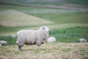 vuile schapen foto