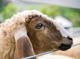 schapen gezicht op de draadomheining