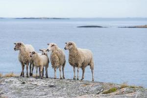 wilde schapen foto