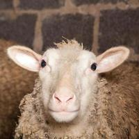 schapen in de schuur foto