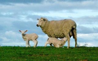schapen op een bergkam foto