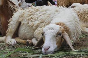 schapen in de boerderij foto