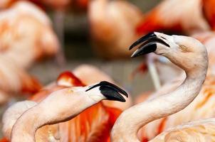 flamingo foto