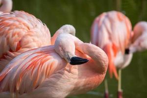 flamingo's in een vijver in een natuurlijke omgeving foto