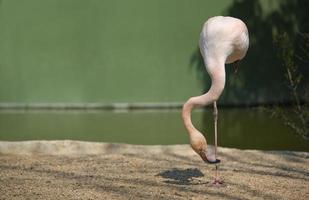 flamingo's in het park foto