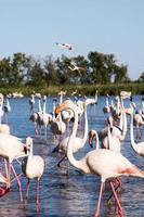 flamingo's in het nationale park van camague, frankrijk foto