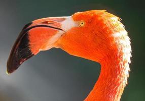 rode flamingo's foto