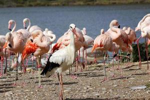 ooievaar en flamingo's foto
