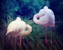 twee roze flamingo's foto