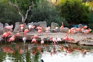 gewone flamingo (phoenicopterus ruber) foto