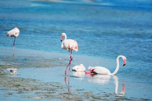 flamingo's in het water foto