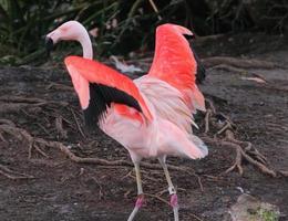 flamingo staat op het punt te vliegen foto