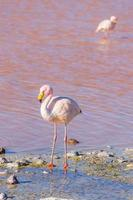 de flamingo van James, Salar de Uyuni, Bolivia foto