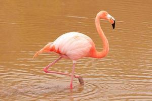 roze flamingo (phoenicopterus ruber) foto