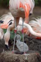 flamingo en kuiken foto