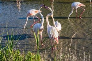 de flamingo's kussen elkaar zachtjes foto