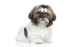 Shitzu puppy portret op witte achtergrond foto